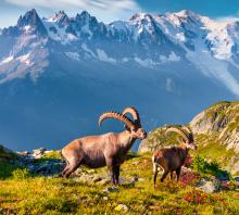 A pair of Ibex in Spain